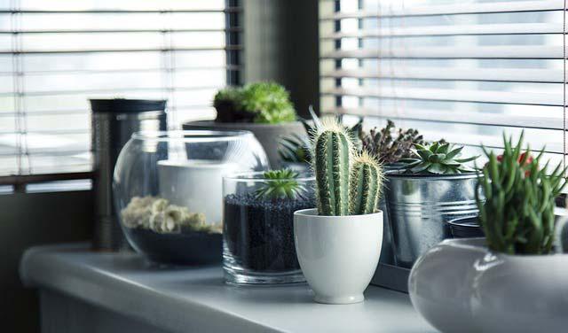 Kaktus doniczkowy, czyli sukulent dla zapominalskich – jak o niego dbać?