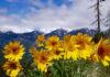 Arnika górska – niezwykłe właściwości niepozornego kwiatu